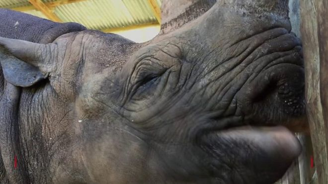 Conservationists in Ngorongoro said Fausta, pictured, was the oldest rhino in the world (BBC)